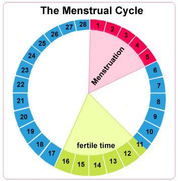 2 menstrual cycle
