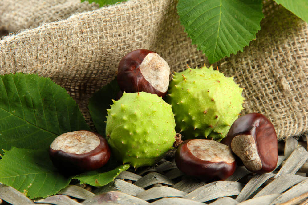 Chestnuts are a natural remedy for varicose veins.