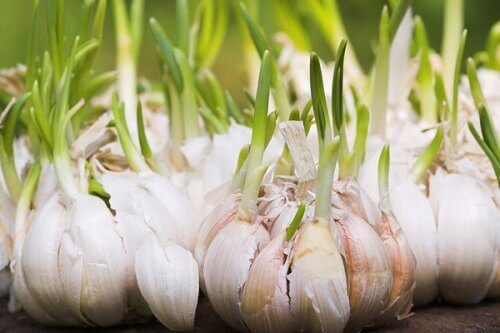 Garlic cloves and plant