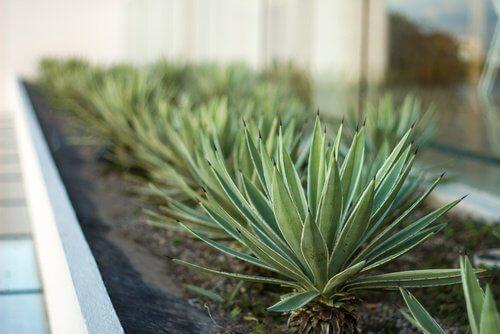 Aloe vera -kasvit rivissä