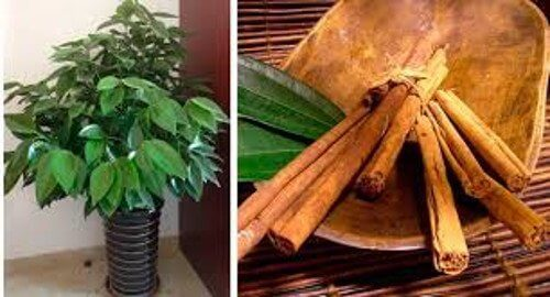 how to grow cinnamon at home