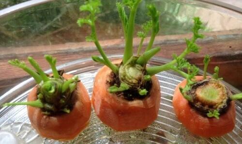 Porkkanat valmiina itämään