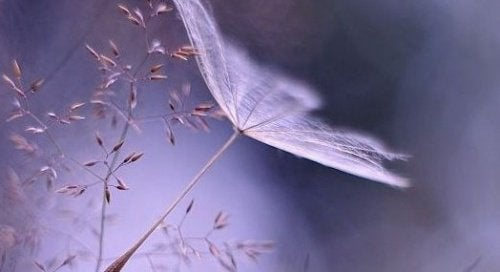 Hauras kukka