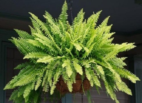 Ferns are plants that purify the air