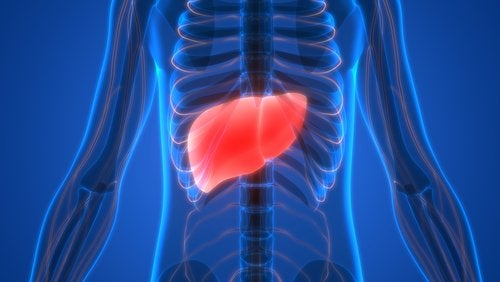 A liver inside of a body.
