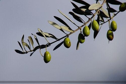 Olive tree branch sky
