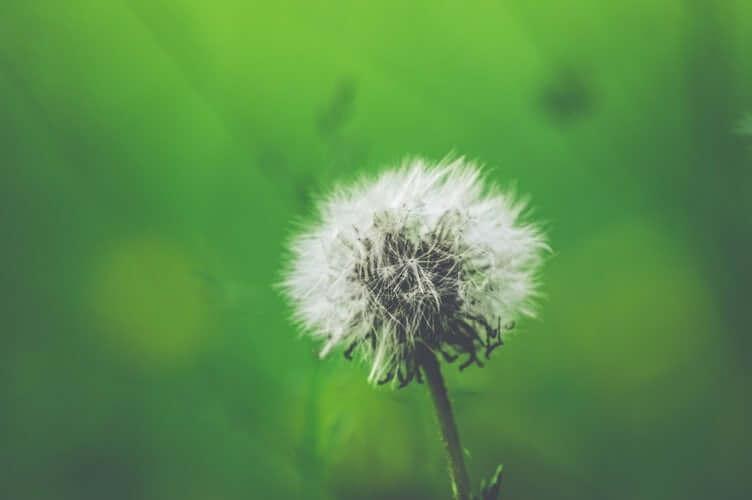 allergic rhinitis causes in the environment dandelion