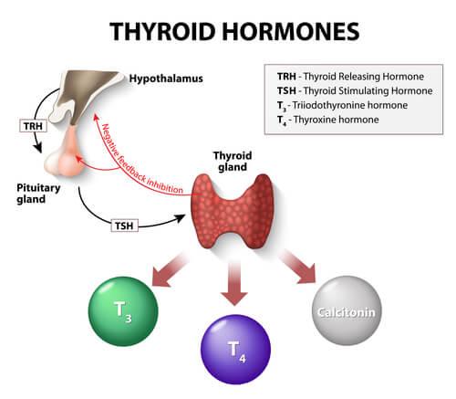 thyroid hormones chart of thyroid gland for hypothyroidism treatment
