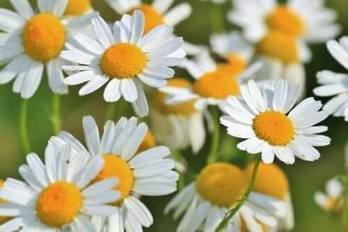 A field of chamomile.