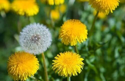 A field of dandelions.