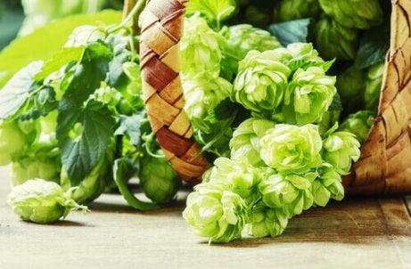 hops flower