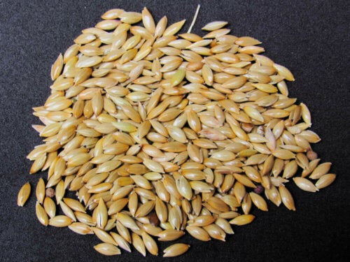 how to prepare canary seed milk