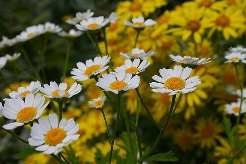 According to some people, you can fight off mosquitoes with chamomile.