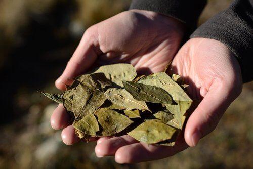 코카잎 차의 놀라운 건강 효능
