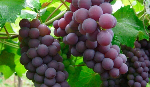 Grapes prevent blood clotting.