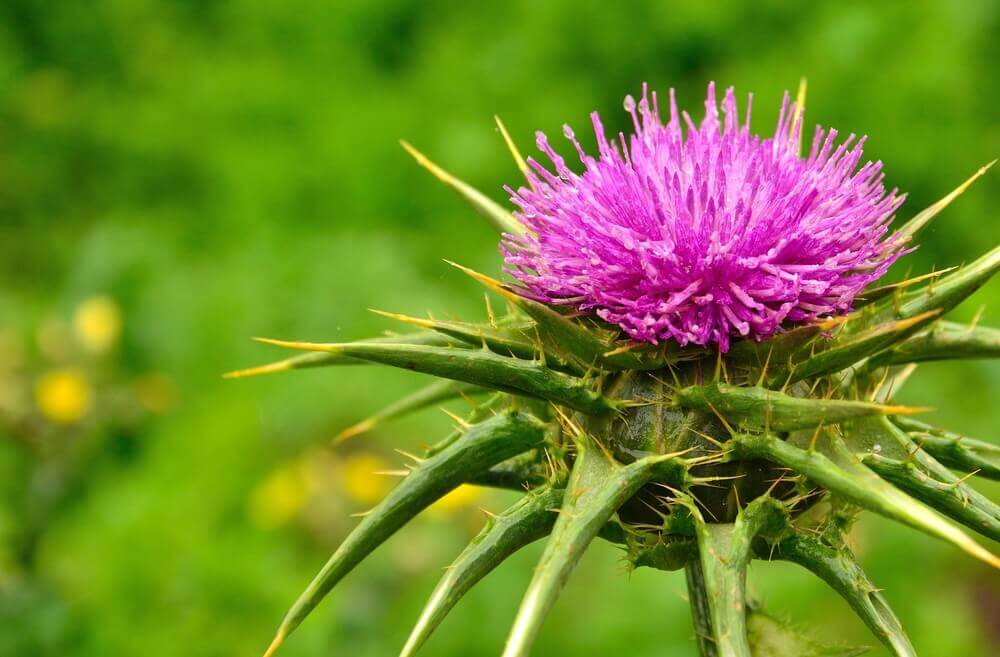 Why You Should Take Milk Thistle After Christmas