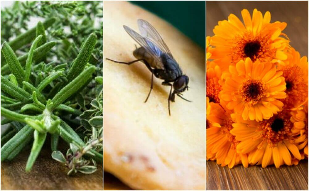 6 Home Remedies to Repel Flies