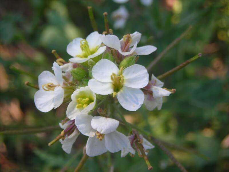 White wallrocket is one of our edible plants.