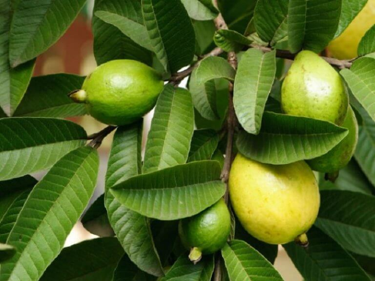 curing styes with guava