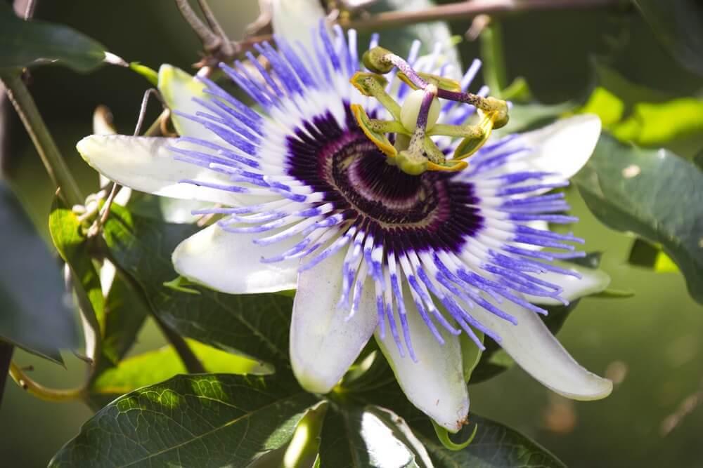 passionflora