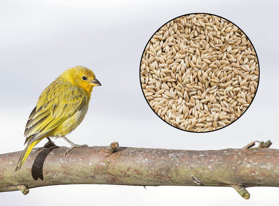 A canary and some canary seed.