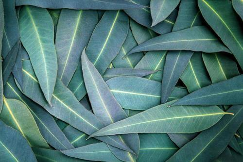 5 Eucalyptus Remedies to Relieve Respiratory Problems