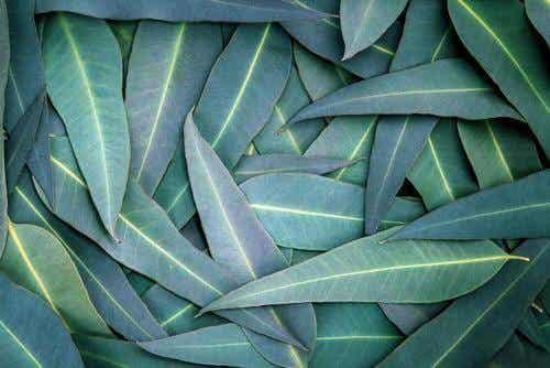 5 Eucalyptus Remedies to Relieve Respiratory Problems