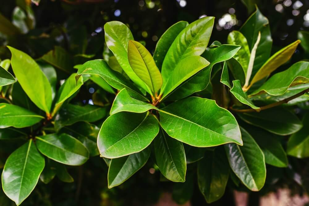 Laurel Remedies to Improve your Respiratory Health