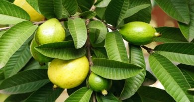 guava leaf remedies