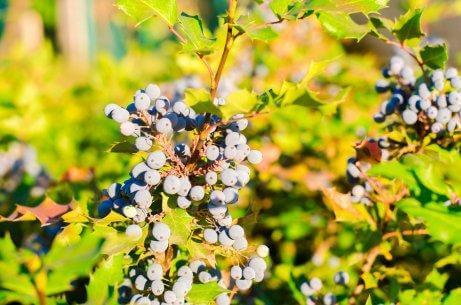 Oregon grape.