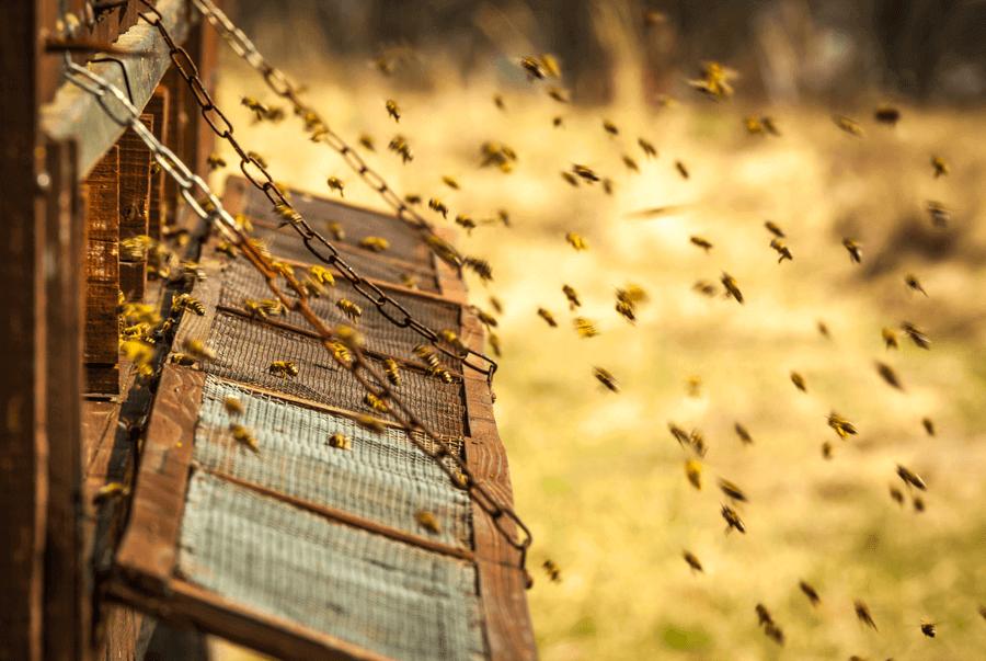 Bees making royal jelly.