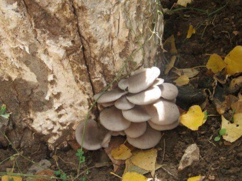Oyster mushroom.