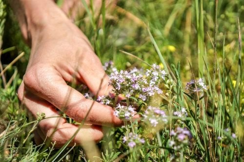 A hand touching a thyme plant.