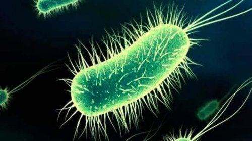Escherichia coli bacteria.