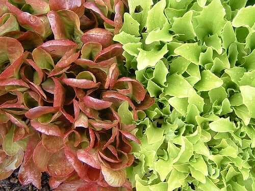 A display of two kinds of lettuce.