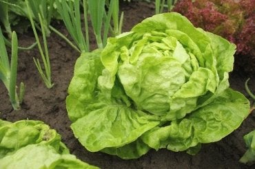 Lettuce Varieties and How to Grow Them