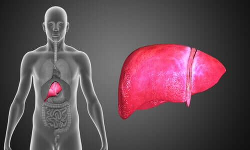 The human body and the liver.