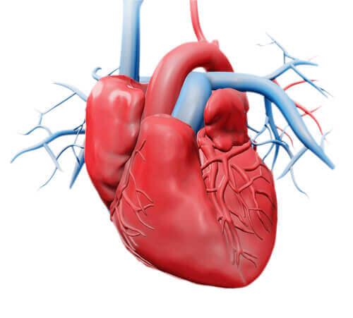 Heart anatomy parts of the heart digital recreation