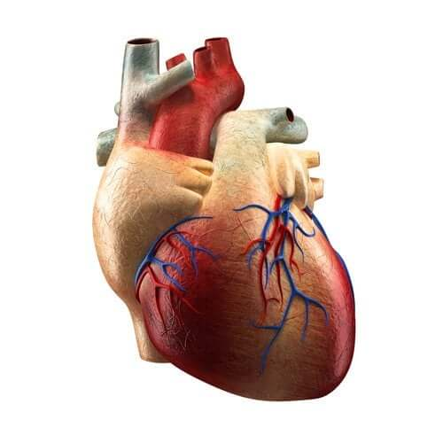The Parts of the Heart and their Functions