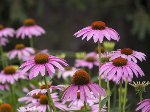 Some coneflowers.