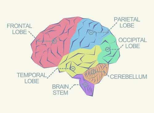 What Are the Different Lobes of the Brain?