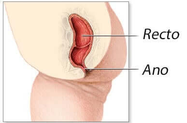 Illustration of the anatomy of the rectum and anus.