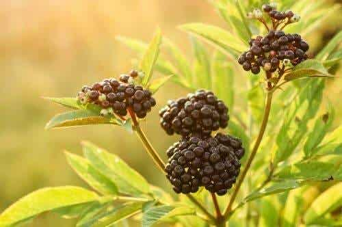 Find Quick Relief from the Flu with Elderberry