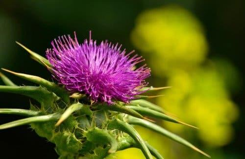 The milk thistle flower, one way to fight gallstones naturally.