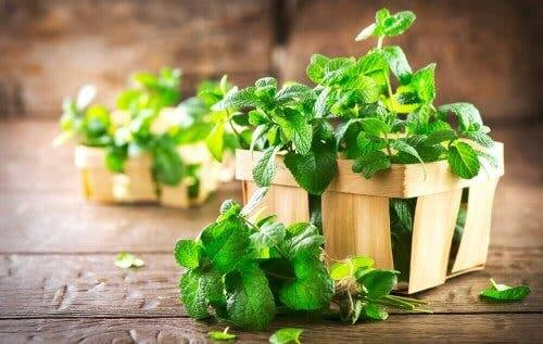 Small wooden fruit crates with mint in them.