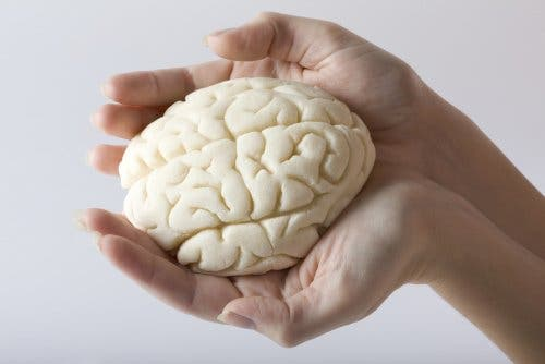Hands holding a fake brain, eliminating fat can harm your brain health.