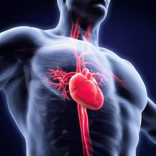 The cardiovascular system.