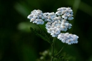 Everything You Need To Know About Yarrow Tea