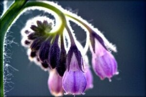 Uses and Side Effects of Comfrey