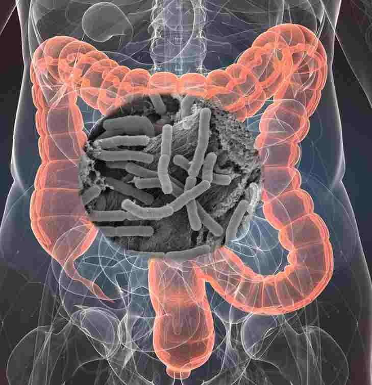 The intestinal flora.